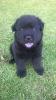 Chow/ Golden retriever puppies